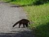 Witneusbeer