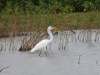 Grote witte reiger
