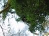 Noordelijke franjeaap