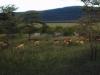 Duikers en zebra\'s