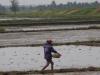 Er wordt hard gewerkt op de rijstvelden