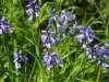Wilde, blauwe hyacinth