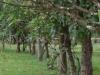 Bomen geven de grens aan van de putten, waarin de lijken begraven werden