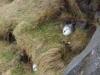 Broedende Noordse Stormvogels