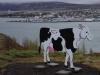 Uitzicht op Akureyri, met koe ??