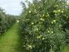 Uitgestrekte fruitboomgaarden