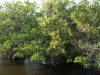 Mangrovebossen, Everglades National Park