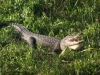 Krokodil, Everglades National Park