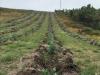Eucalyptussen worden massaal aangeplant