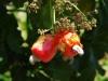 Cashew noten, vogels zijn er ook gek op