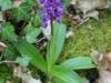 Vleeskleurige orchis