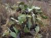Cactussen zijn uitgedroogd