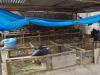 Elmet en Jenny hebben een caviafarm, voor ons huisdieren, hier een delicatesse