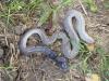 De hazelworm, pootloze hagedis, is ook op weg naar Ostabat