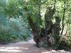 Via dit mooie, met oude eikenbomen omzoomde pad, ploeteren we de laatste kilometers omhoog