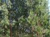 Eucalyptusbomen, er staan er hier heel wat in deze streek