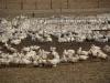 Corgnac-sur-l'Isle, een eendenfarm; en stinken dat het er doet !