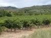 De eerste wijngaarden dit jaar