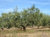Kilometers olijfbomen