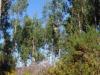 Eucalyptussen, gele brem en roze heide, tegen een strakblauwe hemel