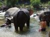 Met emmertjes worden de olifanten natgegooid door de liefhebbers