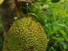 Duria's hangen aan de bomen; ze schijnen lekker en zoet te zijn en ze stinken