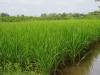 De rijst op de velden is al mooi groen
