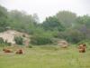 De Galloway runderen doen rustig aan
