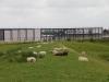 We wandelen tussen de schapen