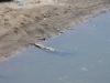 Aardsluie krokodillen zwemmen of zonnen, een bizar gezicht