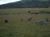 Antilope en zebra\'s
