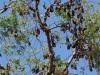 Honderden vleermuizen hangen in de bomen; als het donker is zwermen ze uit