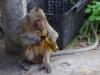 Phnom Dampeau, het stikt hier van de brutale apen