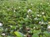 We passeren velden vol met lotusbloemen