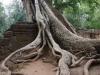 De Preah Khan Tempels worden overwoekerd door grote, hoge tropische bomen