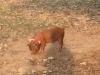 We zien een hond, vastgebonden aan een boom; het blijkt een varkentje te zijn
