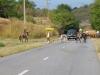 Cowboys drijven koeien bijeen