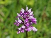 Brede orchis