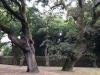 Mooie, oude bomen aan de rand van de stad