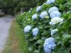 Mooie blauwe hortensia's langs de weg