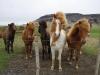 IJslandse paardjes