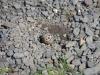Het nest van een scholekster, midden op de weg