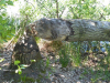 Enkele bomen lijken doorgeknaagd door bevers