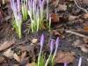 De krokussen staan in bloei
