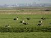 In de polders ziet het zwart van de overwinterende ganzen