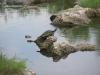 Schildpad, Everglades National Park