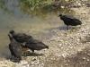 Gieren, Everglades National Park