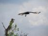 Adelaar, Everglades National Park