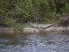 Krokodil, Everglades National Park