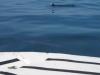 Dolfijnen schieten onder de boot door